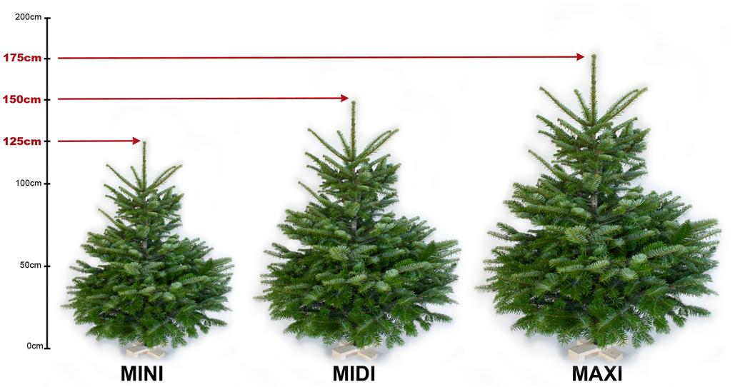 Weihnachtsbäume MINI_MIDI_MAXI im Größenvergleich